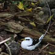 1 White-tailed Tropicbird_0180