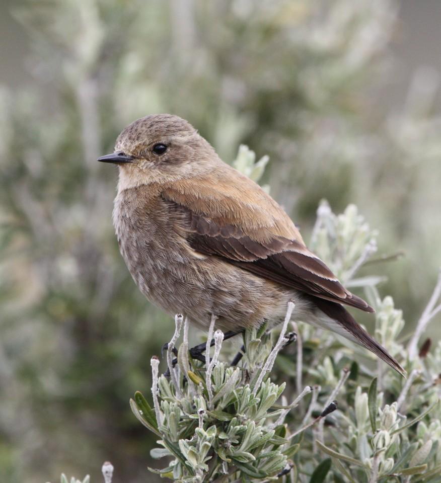 Austral Negrito (female)