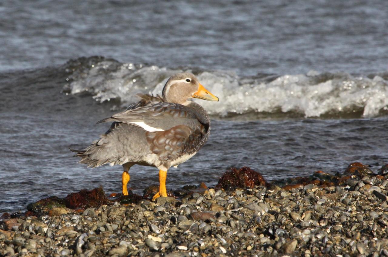 Flightless Steamer Duck