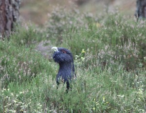 3 Capercaillie_9517
