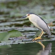 3 Night Heron_8934