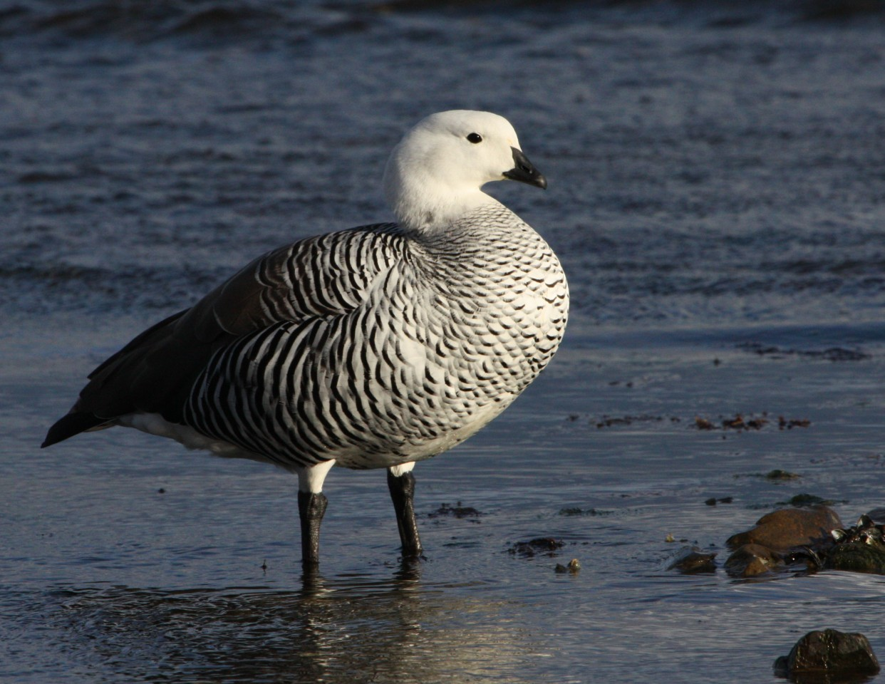 Upland Goose (male)