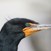 4 Double-crested Cormorant_3190