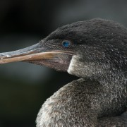 4 Flightless Cormorant_3805