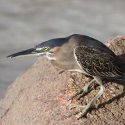 4 Green-backed Heron_0835