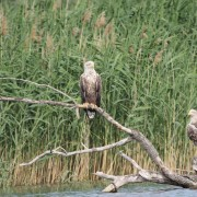 5 White-tailed Eagle_8983
