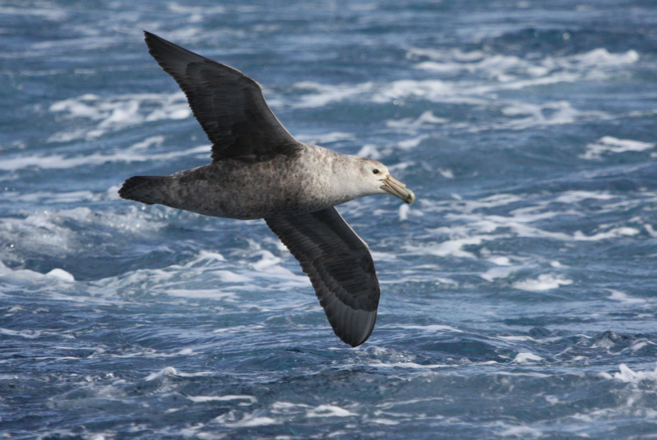 Southern Giant Petrel