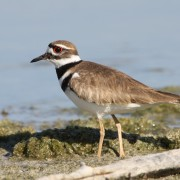 Killdeer 3453