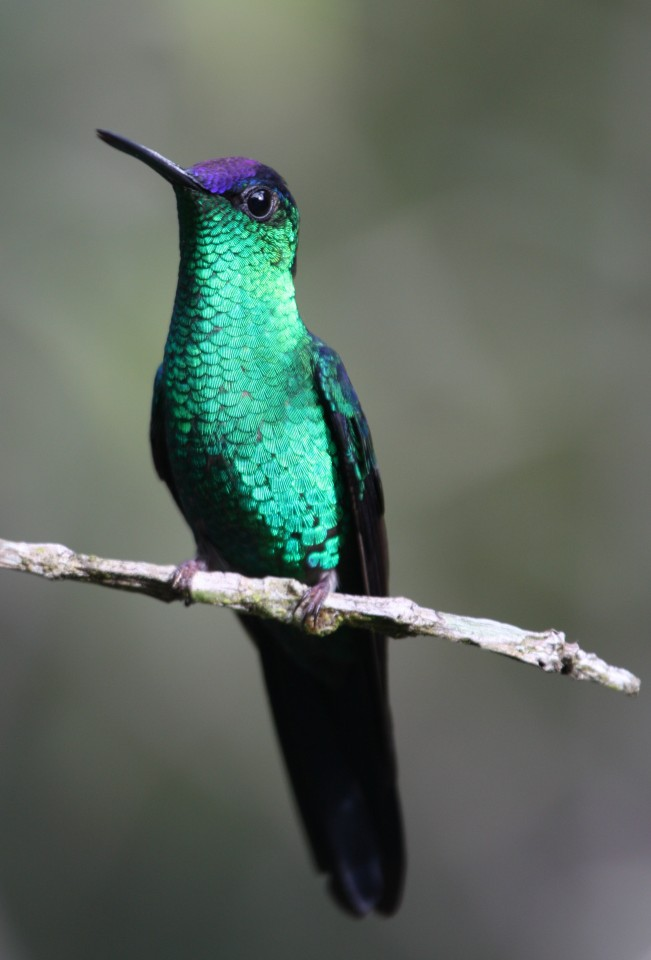 Violet-capped Woodnymph