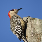 W Indian Woodpecker 3620
