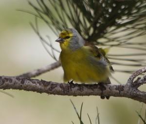 Corsican Finch_3182