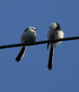 Long-tailed Tits 4405