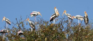 27 Painted Storks_1223