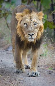 Asiatic_Lion revised