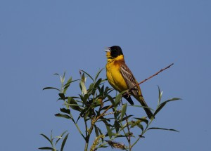 Black-headed Bunting 5273