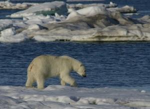125 Polar Bear 5