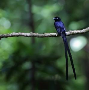 Seychelles Paradise Flycatcher_2012