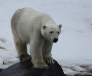 Polar Bear_2880