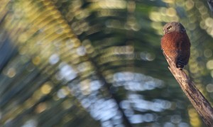 Chestnut-backed Owlet_0427