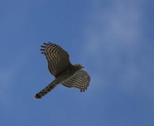 Sparrowhawk_4800
