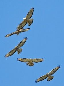 h-buzzards