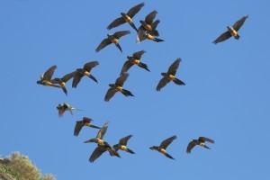burrowing-parakeets-b_6447