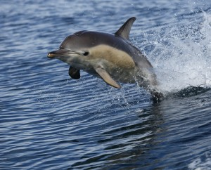 common-dolphin_5975