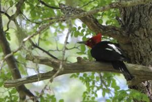 magellanic-woodpecker-b_7085