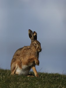 Brown Hare_1007