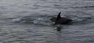 Dolphins_0887