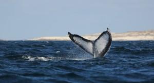 Humpback Whale_0085