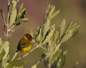 Mangrove Warbler _9683