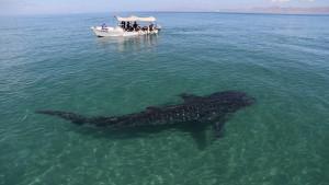 Whale Shark_9092