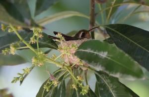Xantus's Hummingbird_9279