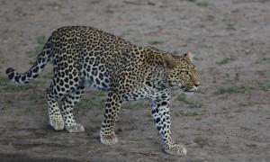 Leopard_1885