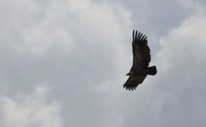 Griffon Vulture_3572