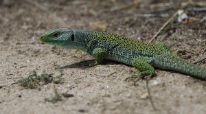 Ocellated Lizard_3223